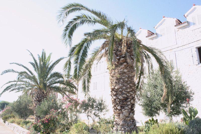 """""""Crvena pipa"""" uništava stoljetne palme. Može li joj se stati na put?"""
