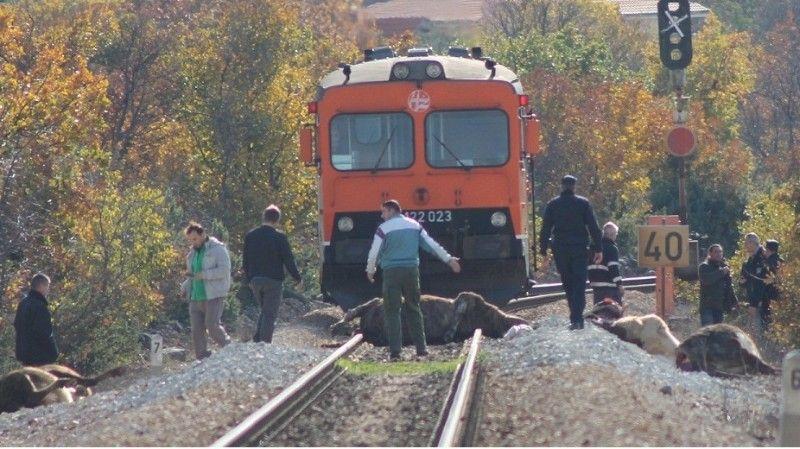 Krvava pruga: Vlak u Žitniću usmrtio osam krava, putnici neozlijeđeni