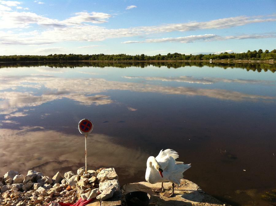 Labud na obali Male Soline (foto TRIS)