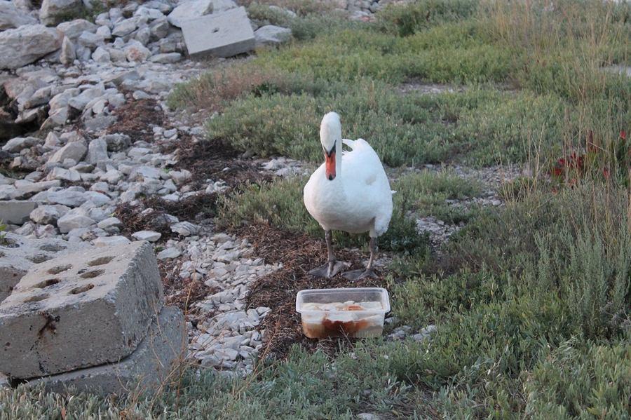 Labud slomljenog krila našao dom u Jadrtovcu
