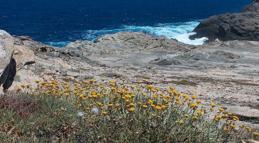 Smilje - krhka ali snažna biljka  (Wikipedia)