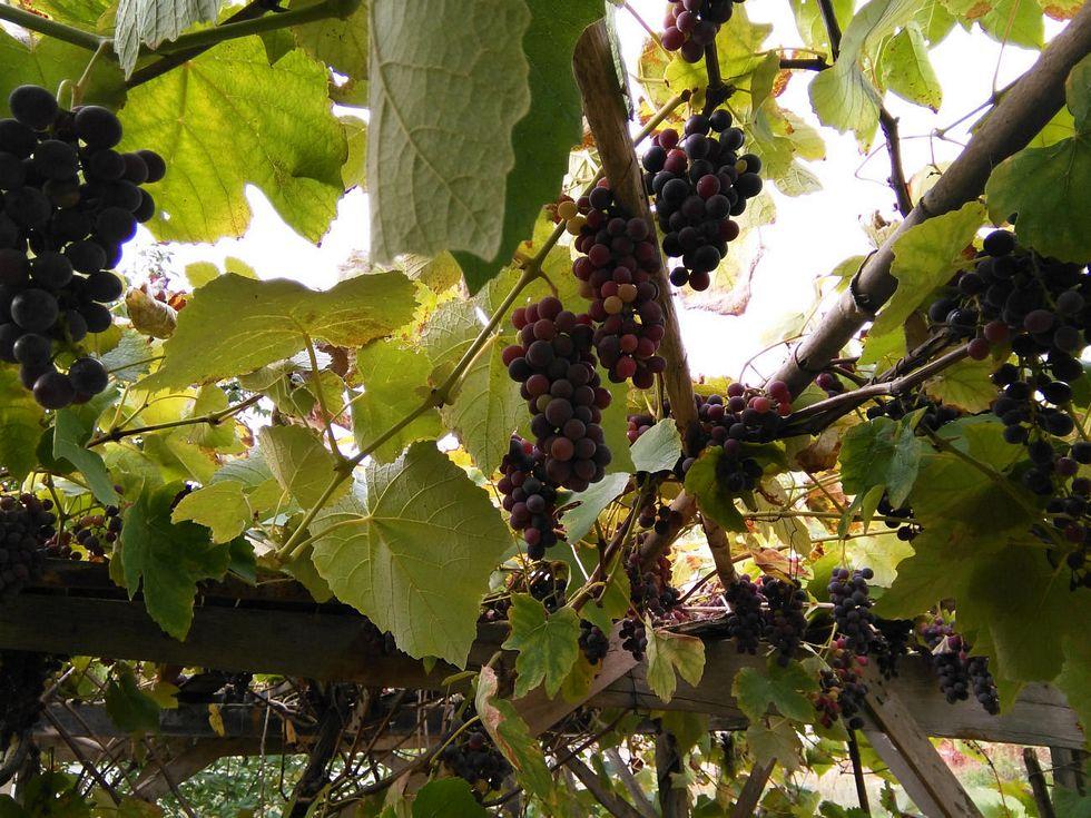 Zatrpali bi i ovo grožđe - kamenjem i zemljom