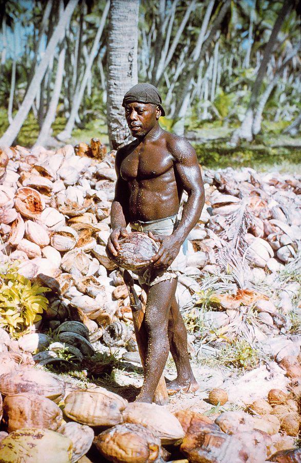 Jedna od posljednjih berbi kokosa na Chagosu 1969. godine (foto Wikipedia)