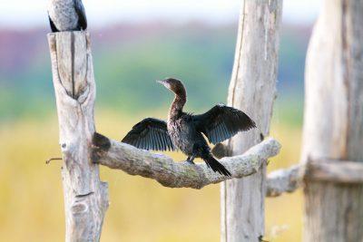 Poslodavac mali vranac  - foto PP Vransko jezero