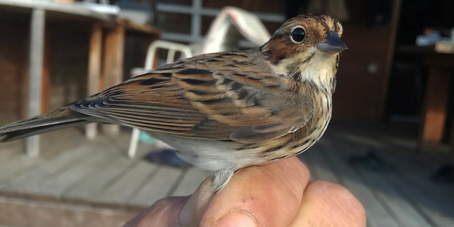 Ptičica: Mala strnadica (foto PP Vransko jezero/Ivica Lolić)