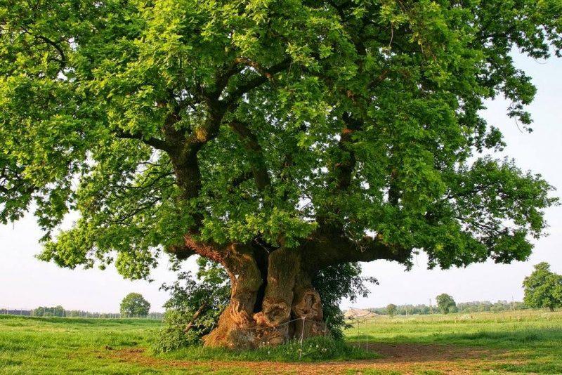 Treba li ispilati i ovo stablo? (ilustracija Zelena Istra)