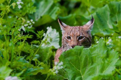 CARNIVORA DINARICA: Velike zvijeri su važan dio ekosustava