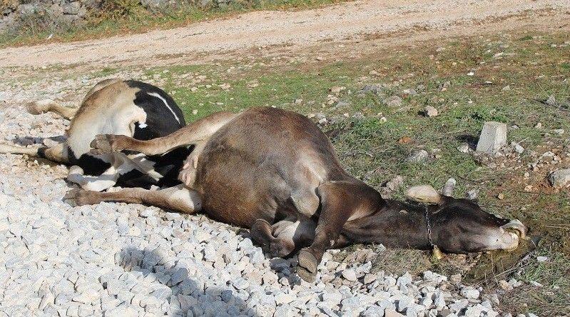Mrtva kravlja tjelesa ležala su s obje srane pruge