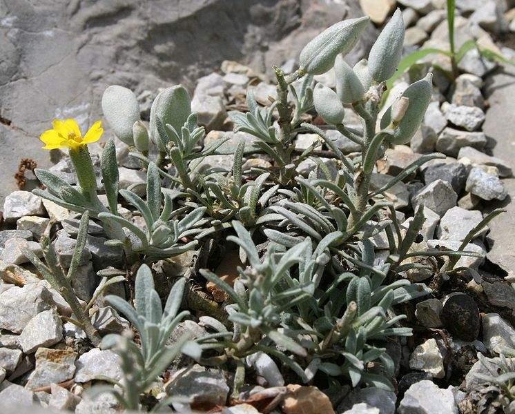 Velebitska degenija, endemska biljčica po kojoj je nagrada dobila ime