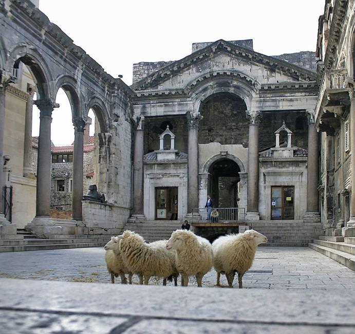 Ovce razgledaju Diklecijanovu palaču (foto www.hulu-split.hr)