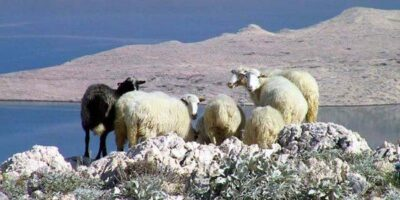 Ovce bi mogle ostati gladne, kao i političari (foto HRT)