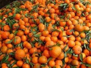 Tajni put mandarina iz doline Neretve – preko Srbije do Rusije!?