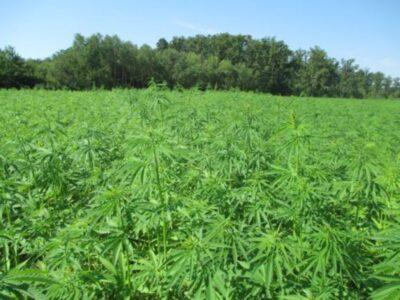 MUP: U 10 mjeseci zapljenjeno 1894 kg marihuane i 2,2kg hašiša – ne očekujemo više posla ako se konoplja legalizira u medicinske svrhe!