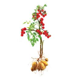 TomTato - crtež duple biljke  (izvor Wikipedia)