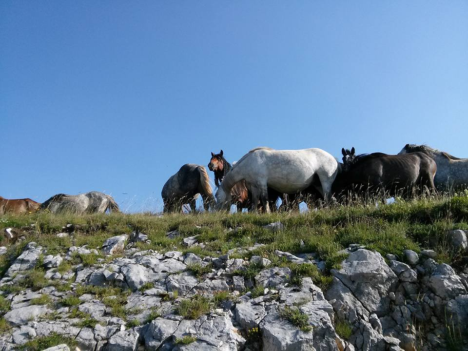 Livanjski divlji konji - Foto; FB Planinarskog ekološkog društva 'Borova glava'