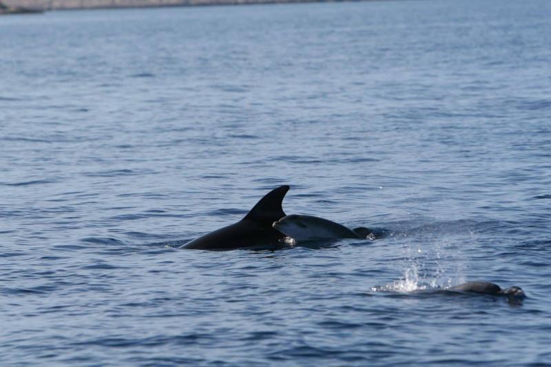 Novorođenče dupina je nazvano - Davio (foto NP Kornati/Plavi svijet)