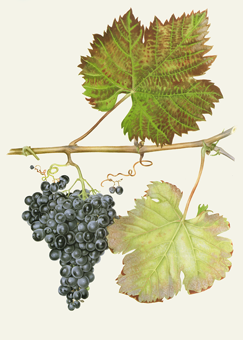 Teran, ilustracija (izvor: Vinistra)
