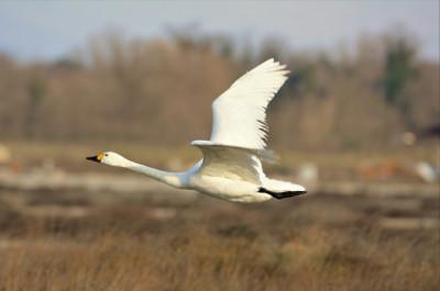 Mali labud dok je bio živ -  autor fotografije: Ivan Dević