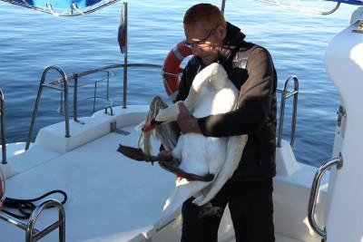 Ranjeni labud prevezen veterinaru