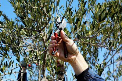 Besplatna radionica za maslinare u Parku prirode Vransko jezero