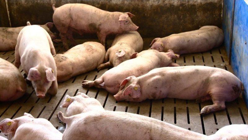 Vajda ostala bez 700 svinja: Farmer nestao zajedno sa svinjama, policija raspisala tjeralicu