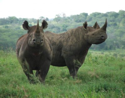 Dva živa nosoroga (foto WWF)