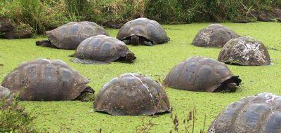 Kornjače na Galapagosu za jedne od prijašnjih proslava Nove godine