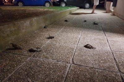 Mrtve ptice nakon vatrometa (foto Zelena Istra/Glas Istre)