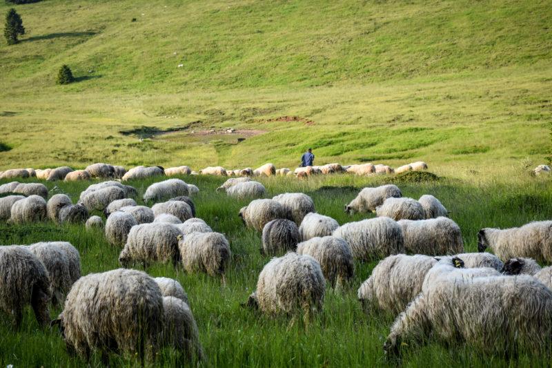 Ovce na Dinari (foto BIOM)