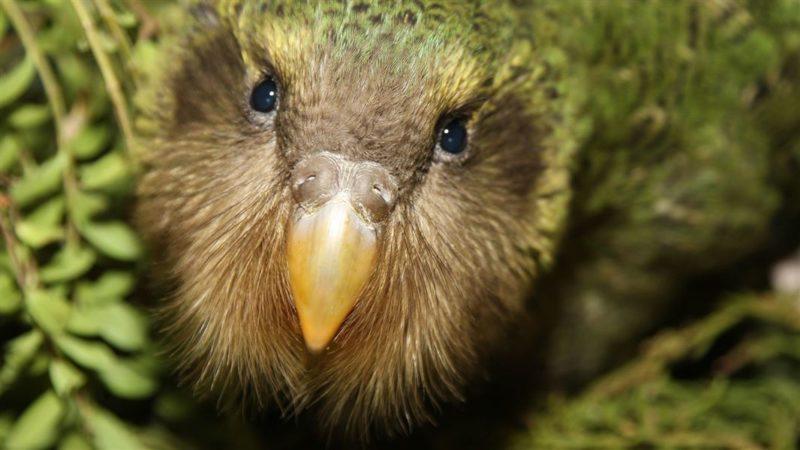 Kakpo - najveći i najdugovječniji papagaj na svijetu