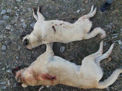 Ubijeni pastirski psi -  foto Prijatelji životinja