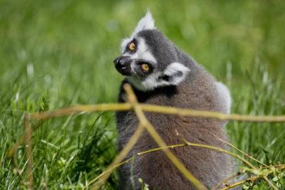 Prstenastorepa lemurica (foto ZG ZOO)