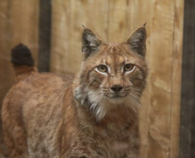 Foto: LIFE Lynx
