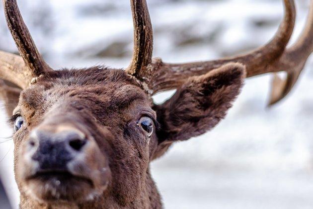 Ilustracija: Preneraženi kanadski los