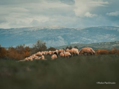 Povratak Dinare u život: Poziv sadašnjim i budućim stočarima, te kravama i ovcama na besplatnu ispašu