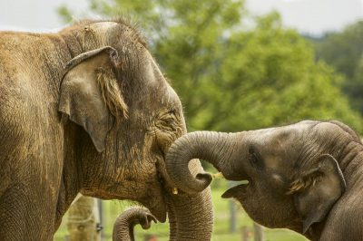 Raste 'slonolitet': Baby boom slonića u Keniji