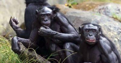 Majmuni ne nose maske (foto San Diego Safari ZOO)