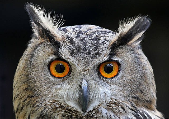 Sova ušara - foto Walter Baxter