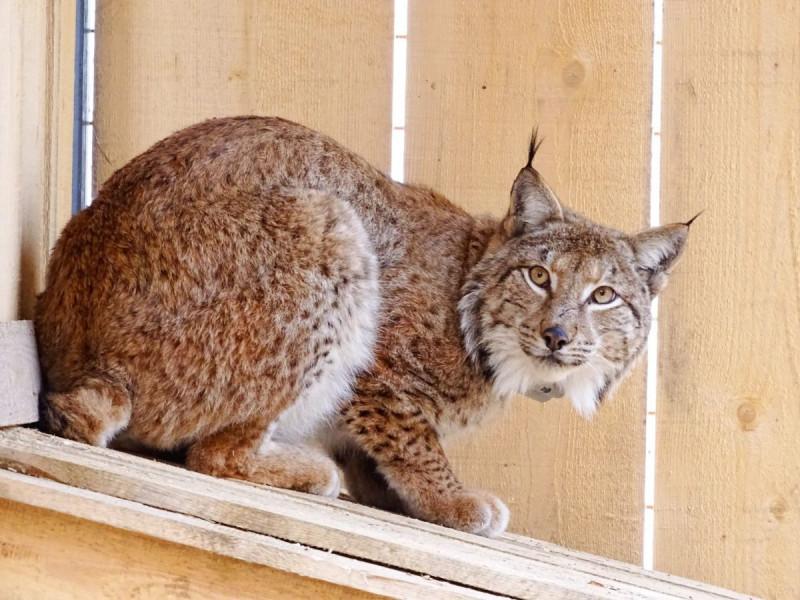 Ris TRIS - foto: Miha-Krofel/Lynx